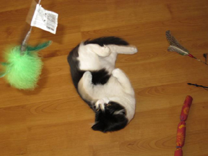 Alfie considers a wide variety of cat toys